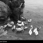 Dzikie-kaczki